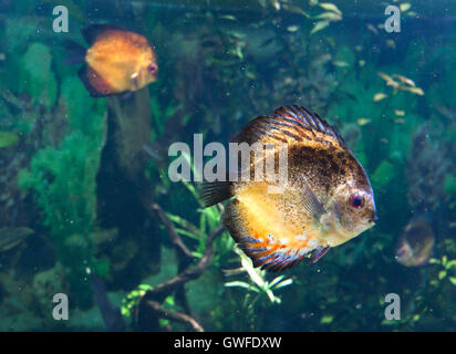 Morph of exotic tropical fish swimming in aquarium. Can be used as a wallpaper or postcard. - Stock Photo