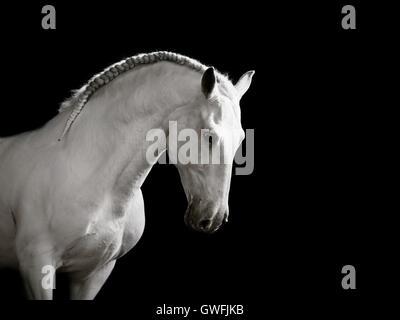 White Lusitano stallion cantering gracefully, head bowed - Stock Photo