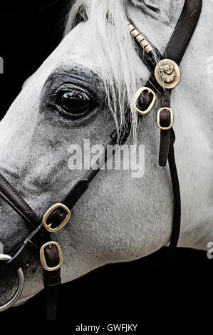 Close-up profile of a white Australian Pony stallion - Stock Photo