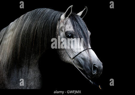 Portrait of a young dark grey Arabian stallion - Stock Photo