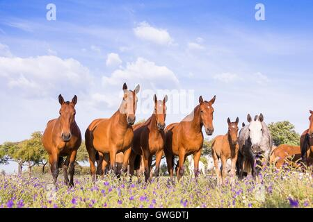 Lusitano. Mares and a foal on a flowering pasture. Portugal - Stock Photo