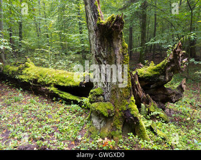 Moss wrapped old hornbeam tree stump and part of tree lying behind,Bialowieza Forest,Poland,Europe - Stock Photo
