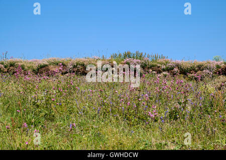 Coastal flowers flowering in early June on a rocky wall, Cornwall, England UK - Stock Photo