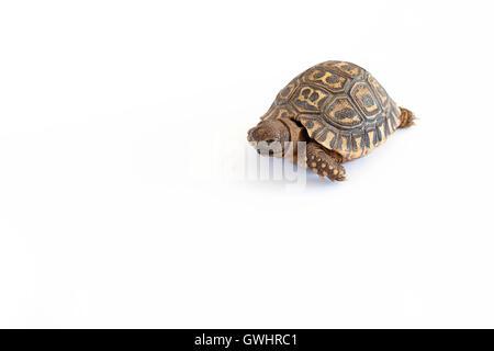 Leopard Tortoise plain white background - Stock Photo
