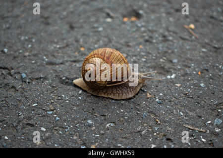 A closeup of a snail crawling on the pavement - Stock Photo