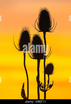 Back lit seed head of Common Teasel  (Dipsacus fullonum), Cambridgeshire - Stock Photo