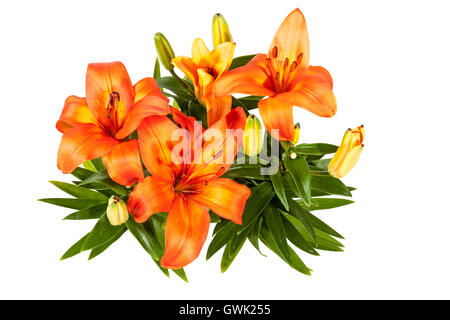 Studio shot above view of isolated  bright orange colored flowers leaves and buds of Asian lily on white background - Stock Photo