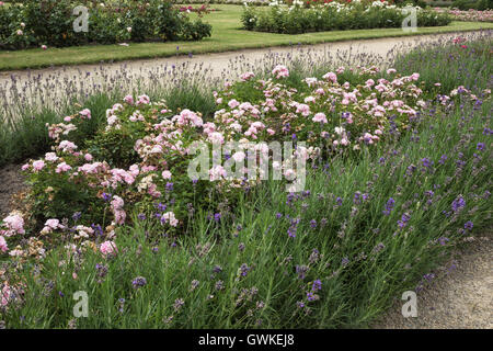 Roses and lavender - Stock Photo