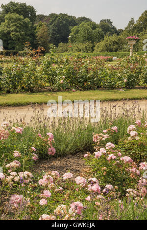 View over a rose garden with lavender - Stock Photo