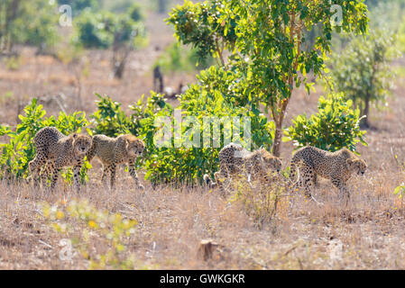 Group of Cheetah in hunting position ready to run for an ambush. Kruger National Park, South Africa. - Stock Photo