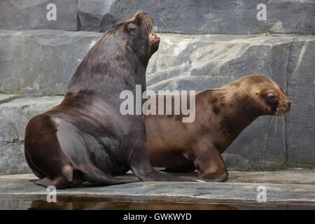 South American sea lions (Otaria flavescens) at Vincennes Zoo in Paris, France. - Stock Photo