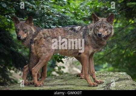 Iberian wolf (Canis lupus signatus) at Vincennes Zoo in Paris, France. - Stock Photo