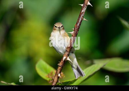 Willow warbler - Stock Photo