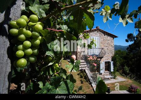 Grapes growing in a vineyard at Lucignana (Bagni di Lucca) Garfagnana valley, Tuscany, Italy. - Stock Photo