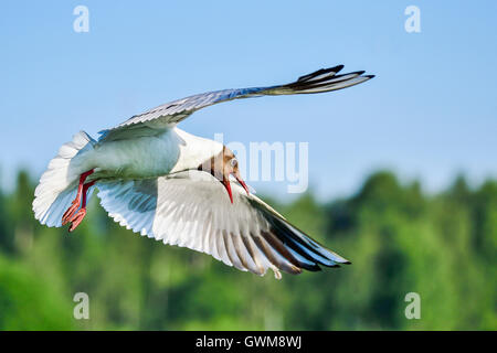 Black-headed gull - Stock Photo