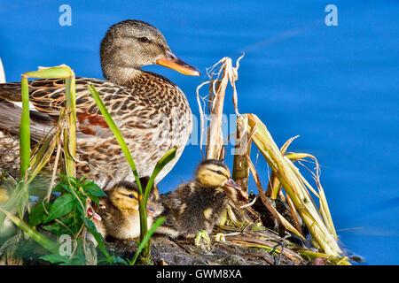 Mallard with ducklings - Stock Photo