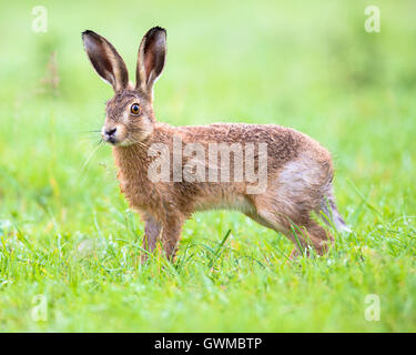 A brown hare in a Summer meadow - Stock Photo