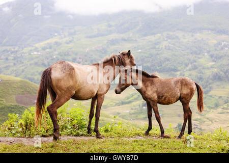 Horse at Lao cai province, North Vietnam - Stock Photo