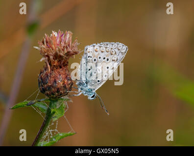 Dew-covered Chalkhill Blue male roosting on knapweed at dawn. Denbies Hillside, Ranmore Common, Surrey, England. - Stock Photo