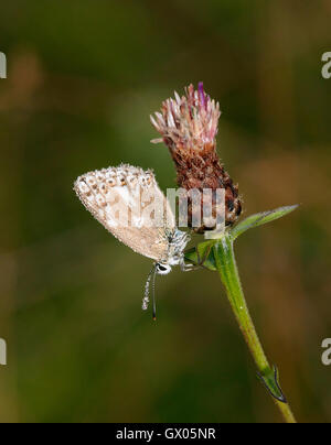 Dew-covered Chalkhill Blue (aberration 'post cacea') female roosting on knapweed at dawn. Denbies Hillside, Ranmore - Stock Photo