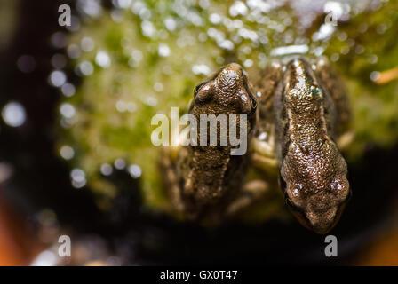 Common Frog (Rana temporaria) - pair of froglets - Stock Photo