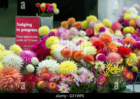 Spare dahlia flowers outside a judging tent at RHS Wisley Flower show, Surrey, England - Stock Photo