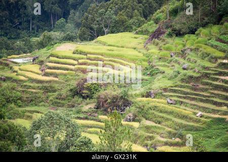 The beautiful green rice field terraces in Batan Pangala, North Toraja, Sulawesi, Indonesia. - Stock Photo