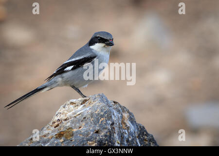Southern Grey Shrike  (Lanius meridionalis) perched on a rock - Stock Photo