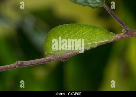Segelfalter, Segel-Falter, Raupe frisst an Schlehe, Iphiclides podalirius, Scarce Swallowtail, Sail Swallowtail, Pear-tree Swall