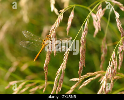 A male Common Darter dragonfly (Sympetrum striolatum) rests on a grass seed head. Otmoor, Oxfordshire. UK - Stock Photo