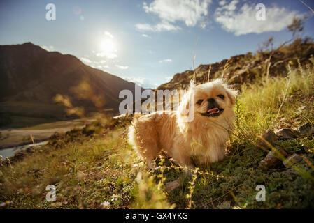 Funny animal dog pekingese mountains - Stock Photo