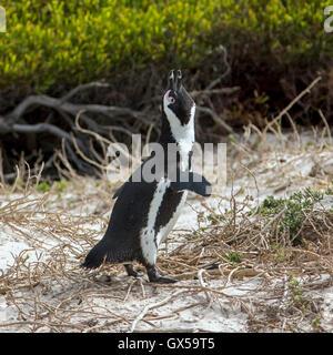 An African Penguin walking along the beach in Boulder Beach, South Africa - Stock Photo