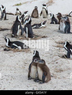 Penguin colony with nesting penguins and two baby penguins at Boulder Beach, South Africa - Stock Photo