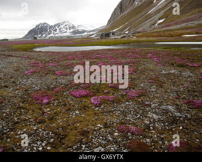 Gorgeous tundra filled with moss campion in front of old trappers hut at Gnalodden, Hornsund, Svalbard - Stock Photo
