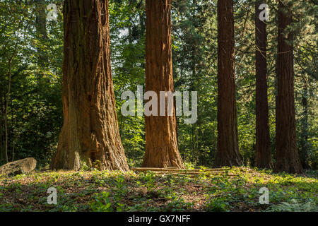 Four mammoth trees in a row - Stock Photo