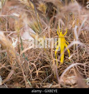 A juvenile vagrant grasshopper, aka gray bird grasshopper, in desert grasses. Gila River Canyons, Arizona - Stock Photo
