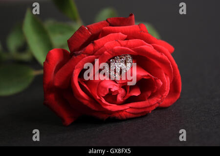 Red rose with wedding rings isolated on black background. Bride and Groom rings - Stock Photo