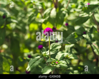 Bachelor's button or Gomphrena globosa - Stock Photo
