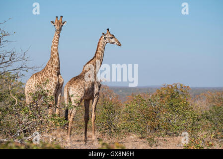 Two young male giraffes against a blue sky - Stock Photo