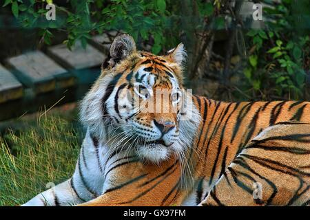 Tiger At Colchester Zoo - Stock Photo