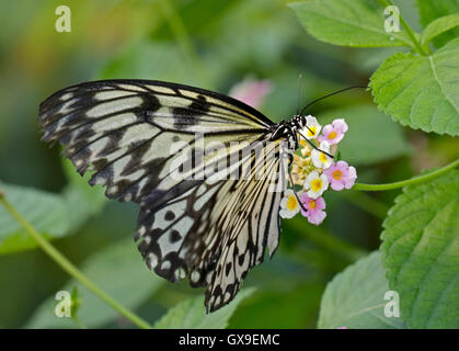 White Tree Nymph Butterfly (idea leuconoe) on Lantana Flower - Stock Photo