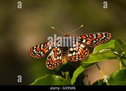Variable Checkerspot butterfly (Euphydryas chalcedona), basking in sunshine, California. - Stock Photo