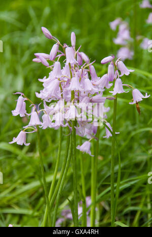 Spanish pink bell flowers : the Spanish Hyacinthoides hispanica is threat to the native bluebell population, Sheffield, - Stock Photo