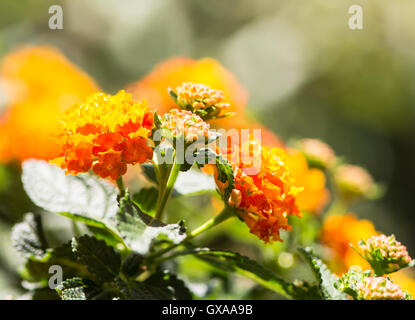 Closeup of an orange blooming Lantana camara flower with selective focus - Stock Photo