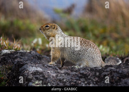 View of Arctic ground squirrel in its natural habitat - Stock Photo