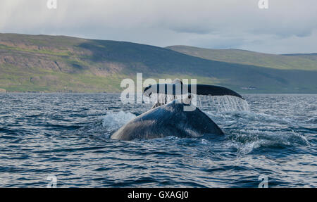 Humpback whales feeding in the waters of Eyjafjordur, northern Iceland. - Stock Photo
