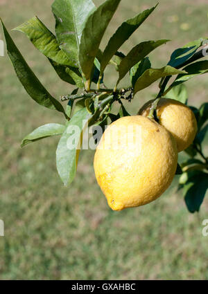 lemons on a tree - Stock Photo