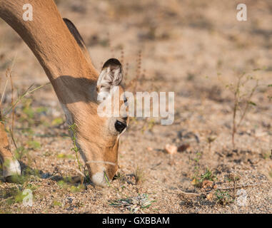 An impala eating in the Kruger National Park - Stock Photo