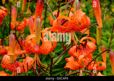 Lilium bulbiferum orange fire tiger lily lillies - Stock Photo