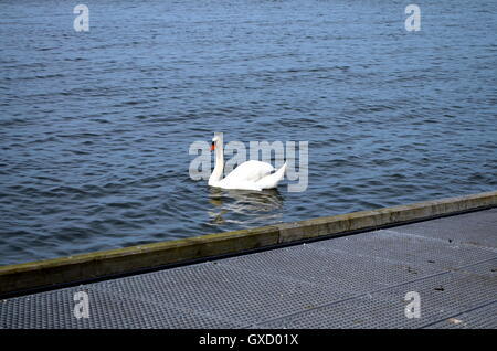mature white swan swimming in baltic sea - Stock Photo